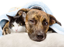 Cane triste e gatto che si trovano su un cuscino sotto una coperta Fotografia Stock Libera da Diritti