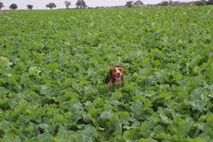 Cane in un campo Immagini Stock