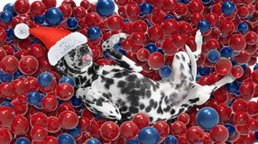 Cane in un cappello di Santa Claus che mette sulle palle di un natale Immagine Stock