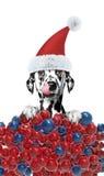 Cane in un cappello di Santa Claus con il fondo delle palle di natale Immagini Stock