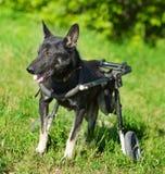 Cane in una sedia a rotelle immagini stock