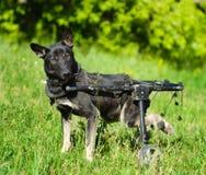 Cane in una sedia a rotelle fotografie stock libere da diritti