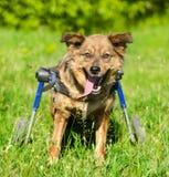 Cane in una sedia a rotelle nella parte anteriore immagini stock