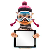Cane vestito come sciatore con il pc della compressa Immagine Stock