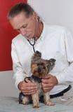 Cane veterinario della holding, Terrier di Yorkshire Fotografia Stock Libera da Diritti