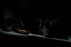 Cane VII scuro immagini stock libere da diritti