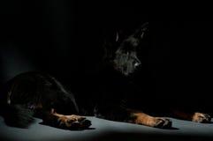 Cane VII scuro fotografia stock libera da diritti
