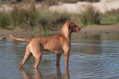 Cane, Vizsla, puntatore ungherese, stante in acqua Immagine Stock Libera da Diritti
