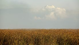 Cane in windy weather. Royalty Free Stock Photography