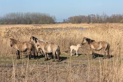 Canebrake with Konik horses in Dutch National Park Oostvaadersplassen. Canebrake with Konik horses and foal in Dutch National Park Oostvaadersplassen near royalty free stock image