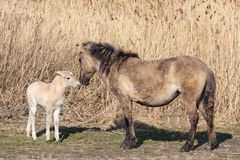 Canebrake with Konik horses in Dutch National Park Oostvaadersplassen stock images