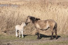 Canebrake with Konik horses in Dutch National Park Oostvaadersplassen royalty free stock images