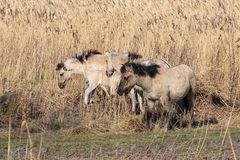 Canebrake with Konik horses in Dutch National Park Oostvaadersplassen stock image