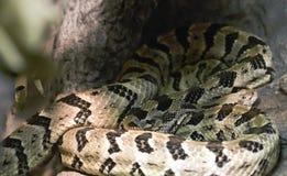 Canebrake Rattlesnake Stock Images