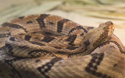 Canebrake Rattlesnake Stock Photo