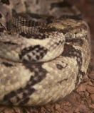 Canebrake Rattlesnake Stock Photography