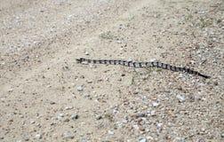 Canebrake Rattlesnake Royalty Free Stock Photography