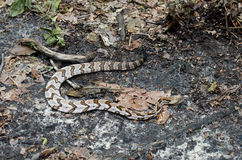 Canebrake Timber Rattlesnake. Camouflage in leaves in Cloudland Canyon State Park Georgia Stock Photo