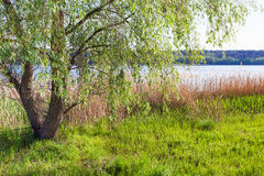 Canebrake and willow tree on shore of ponds Stock Image