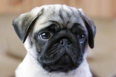 Caneca de um cachorrinho do pug fotos de stock royalty free