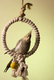 Canelle The Cockatiel 3 Royalty Free Stock Photography