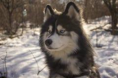 Canelupo del husky siberiano nella foresta di inverno all'aperto sulla neve immagine stock