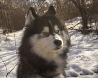 Canelupo del husky siberiano nella foresta di inverno all'aperto sulla neve immagini stock