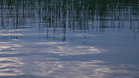 Canes on the silent lake. Lake with quiet water and reflection of canes stock video footage