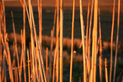 Canes at sunset. With focus in the cane at center Stock Photo