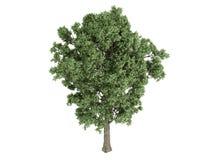 canescens poplar populus x 免版税图库摄影