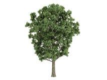 canescens poplar populus x 免版税库存照片