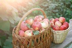 Canestri con il raccolto delle mele nel giardino di caduta Immagine Stock Libera da Diritti