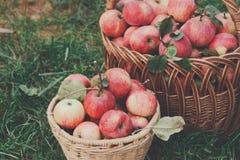 Canestri con il raccolto delle mele nel giardino di caduta Fotografia Stock Libera da Diritti