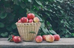 Canestri con il raccolto delle mele nel giardino di caduta Immagini Stock