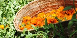 Canestro con i fiori della calendula Fotografia Stock
