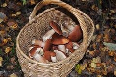 Canestro con il boletus del arancio-cappuccio dei funghi nella foresta Immagini Stock Libere da Diritti