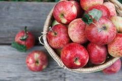 Canestro con il mucchio del raccolto della mela nel giardino di caduta Fotografia Stock Libera da Diritti