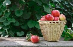 Canestro con il mucchio del raccolto della mela nel giardino di caduta Fotografie Stock Libere da Diritti