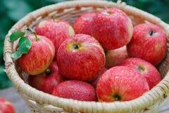 Canestro con il raccolto delle mele nel giardino di caduta Fotografia Stock Libera da Diritti