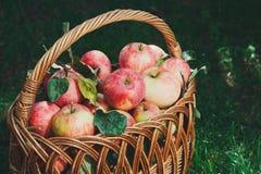 Canestro con il raccolto delle mele nel giardino di caduta Immagini Stock