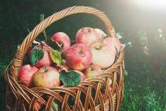 Canestro con il raccolto delle mele nel giardino di caduta Immagini Stock Libere da Diritti