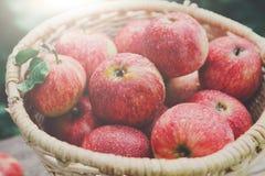 Canestro con il raccolto delle mele nel giardino di caduta Fotografie Stock Libere da Diritti