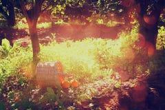 Canestro con le arance su erba verde in sole retro immagine sbiadita di stile Fotografia Stock Libera da Diritti
