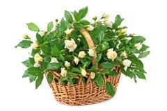 Canestro con le rose bianche fresche Fotografia Stock Libera da Diritti