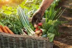 Canestro con le verdure e la mano dell'agricoltore Fotografia Stock Libera da Diritti