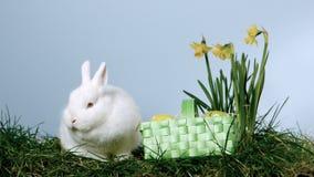 Canestro delle uova di Pasqua che cadono accanto ad un coniglietto lanuginoso sopra erba ed i narcisi stock footage