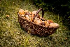 Canestro di Brown in pieno dei funghi della foresta Fotografie Stock Libere da Diritti