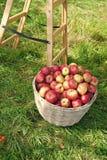 Canestro di frutti maturo rosso delle mele su erba vicino alla scala Apple raccoglie il concetto Frutti organici maturi in giardi fotografie stock