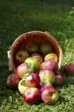 Canestro di legno con le mele rosse di Macintosh che si rovesciano sull'erba verde fotografia stock libera da diritti