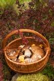 Canestro di vimini con Forest Edible Mushrooms Immagine Stock